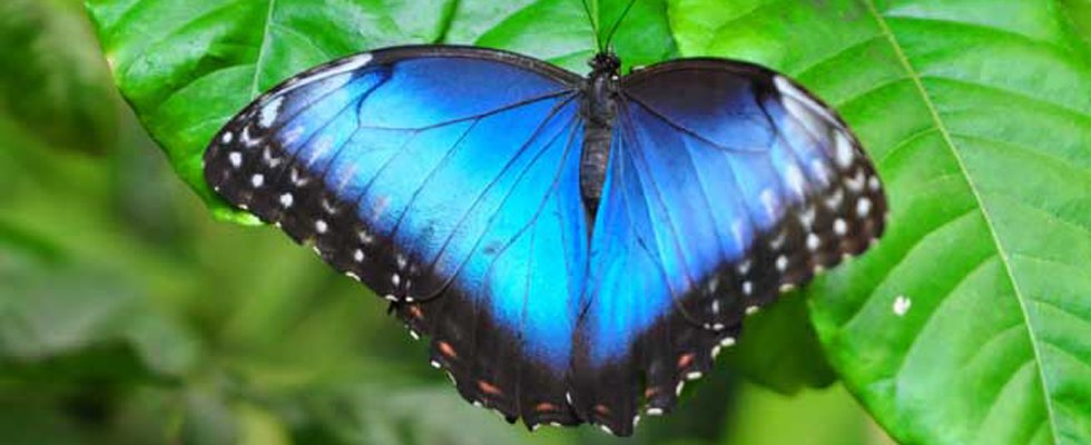 Blue Morpho butterfly with blue wings spread out