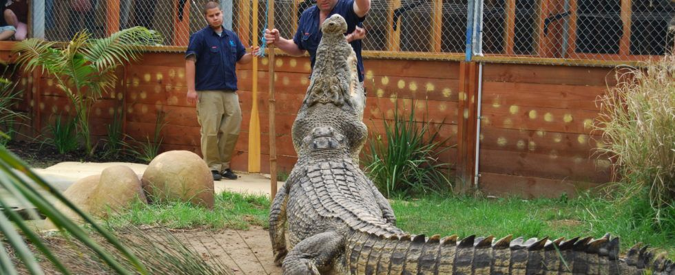Scar, one of the resident crocodiles at Butterfly Creek