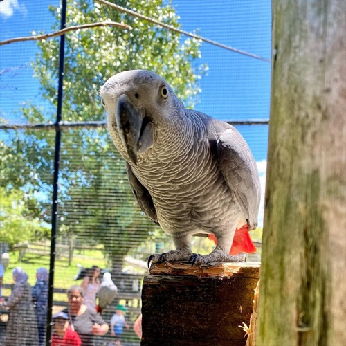 Grey parrot at Butterfly Creek