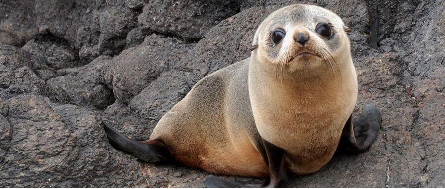 Fur Seal Pup – Otago Peninsula Wildlife.
