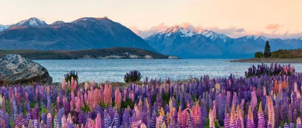 Lake Tekapo with wild flowers in the background.